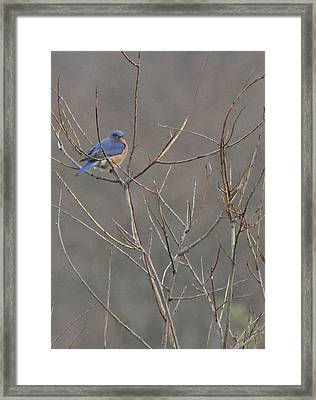 Bluebird On A Branch Framed Print by Sarah Boyd
