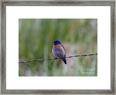 Bluebird On A Wire Framed Print by Mike  Dawson