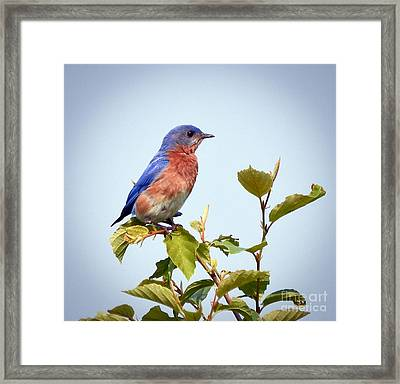 Framed Print featuring the photograph Bluebird On Top by Kerri Farley