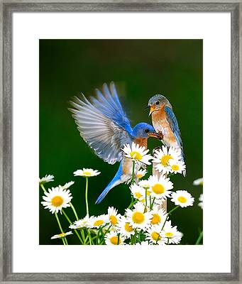 Bluebirds And Daisies Framed Print by Randall Branham