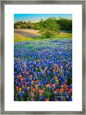 Bluebonnet Carpet Framed Print
