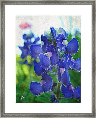 Bluebonnet Charmer Framed Print by TK Goforth