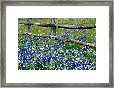 Bluebonnet Flowers Blooming Framed Print