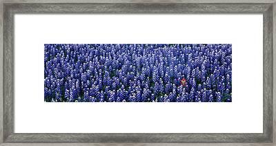 Bluebonnet Flowers In A Field, Hill Framed Print