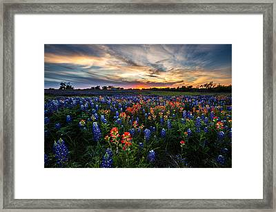Bluebonnet Glory Framed Print