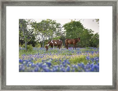 Bluebonnet Images - Horses In In A Field Of Bluebonnets In Ennis Framed Print
