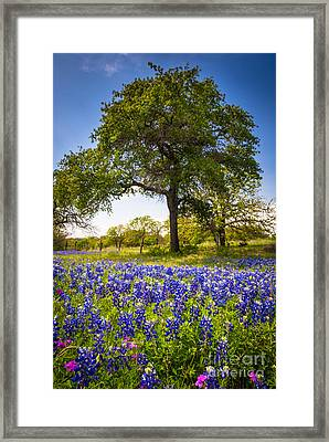 Bluebonnet Meadow Framed Print by Inge Johnsson