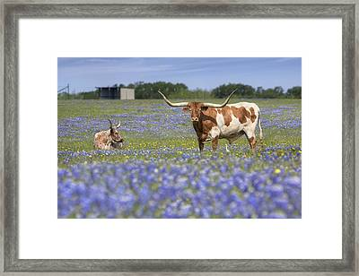 Bluebonnet Pictures - Longhorns In Bluebonnets 5 Framed Print by Rob Greebon
