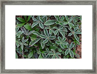 Bluebonnet Sprout Framed Print by Kelly Kitchens