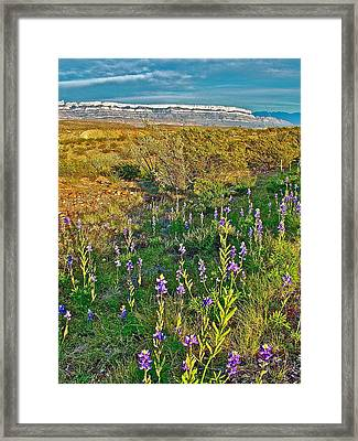 Bluebonnets And Creosote Bushes In Big Bend National Park-texas Framed Print