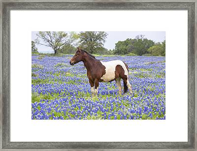 Bluebonnets And Horses 3 Framed Print by Rob Greebon
