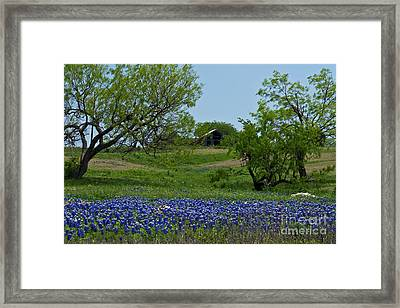 Bluebonnets And Old Barn Framed Print by Lisa Holmgreen