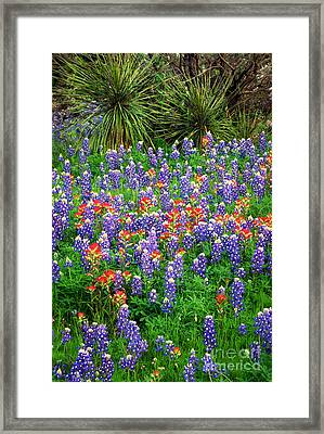 Bluebonnets And Paintbrush Framed Print