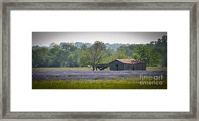 Bluebonnets By The Barn Framed Print by Cheryl McClure
