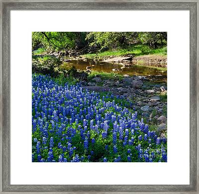 Bluebonnets By The Stream Framed Print