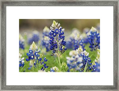 Framed Print featuring the photograph Bluebonnets by John Maffei