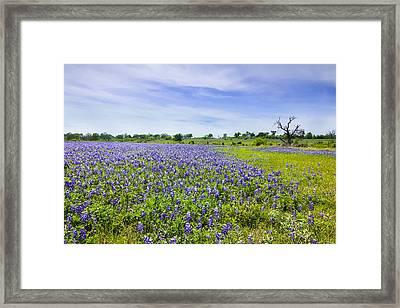 Bluebonnets Under Blue Sky Framed Print