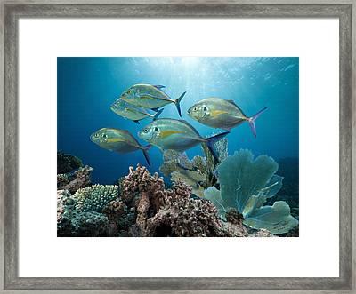 Bluefin Trevally Framed Print