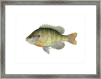 Bluegill Framed Print by Carlyn Iverson