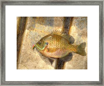Bluegill In Hdr Framed Print by Thomas Young