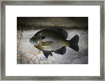 Bluegill Framed Print by Thomas Young