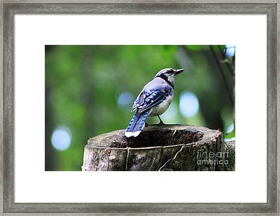 Framed Print featuring the photograph Bluejay by Alyce Taylor