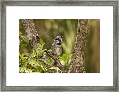 Framed Print featuring the photograph Bluejay In Fork Of Tree by Anne Rodkin