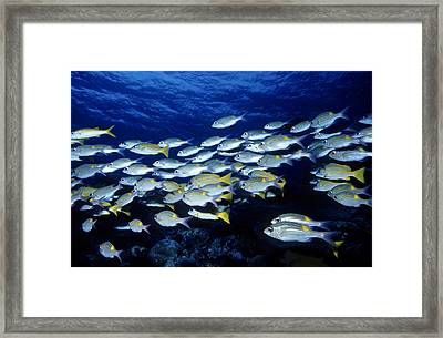 Bluelined Snappers And Yellowspot Emperors Framed Print