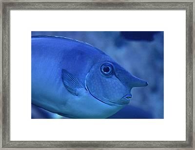 Bluespine Unicorn Fish Framed Print by Karon Melillo DeVega