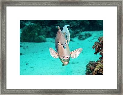 Bluespine Unicornfish By A Reef Framed Print by Georgette Douwma
