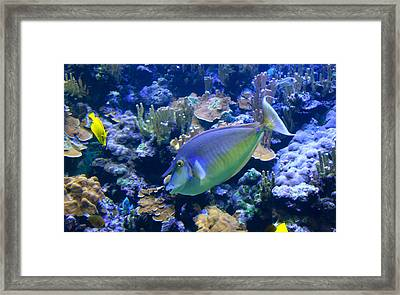 Bluespine Unicornfish Framed Print by Karon Melillo DeVega