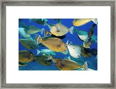 Bluespine Unicornfish Over A Reef Framed Print by Georgette Douwma