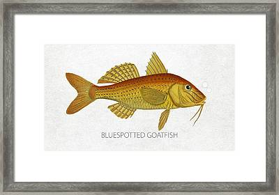 Bluespotted Goatfish Framed Print by Aged Pixel
