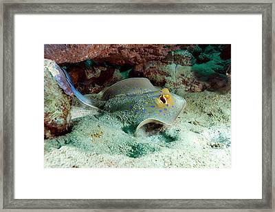 Bluespotted Ribbon Ray Framed Print