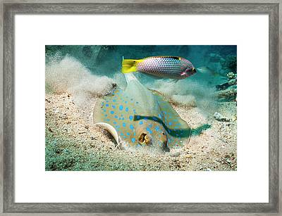 Bluespotted Ribbontail Ray And Wrasse Framed Print