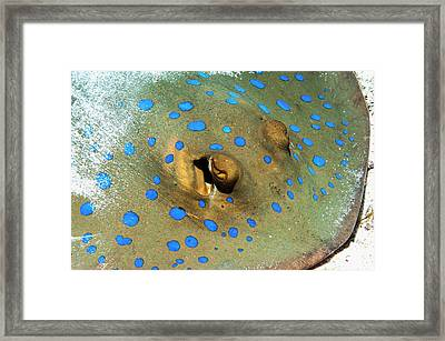 Bluespotted Ribbontail Ray On The Seabed Framed Print by Georgette Douwma