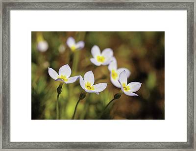 Bluet Flowers, Houstonia Caerulea Framed Print by Timothy Laman