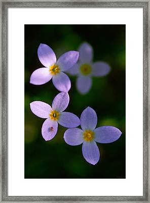 Framed Print featuring the photograph Bluets With Aphid by Marty Saccone