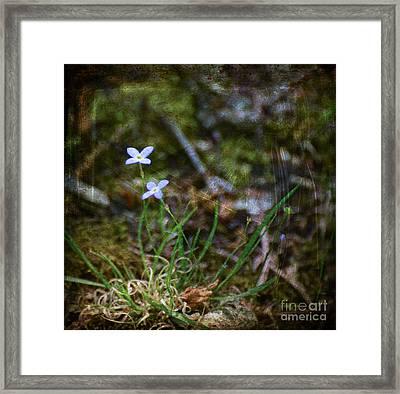 Bluets Woodland Dream Framed Print by Kerri Farley