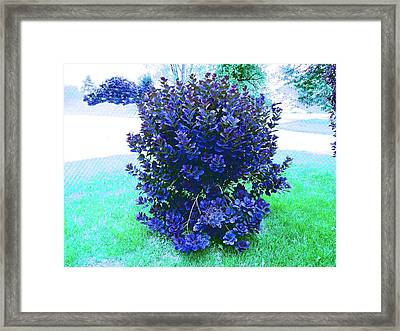 Bluish Sand Cherry Framed Print