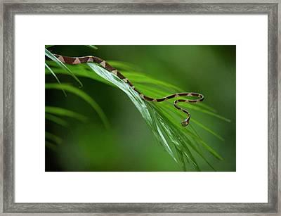 Blunthead Tree Snake (imantodes Cenchoa Framed Print