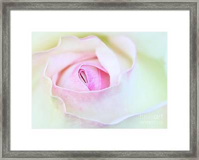 Blushed Rose Framed Print