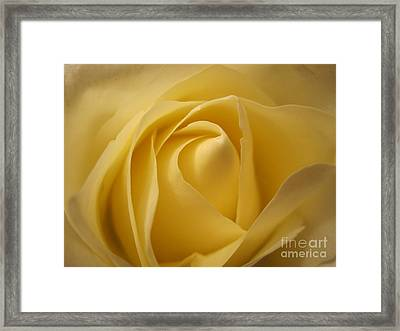 Blushing Cream Rose  Framed Print
