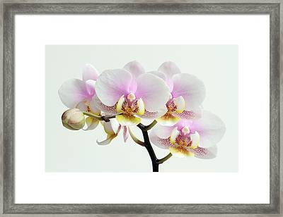 Blushing Orchids Framed Print