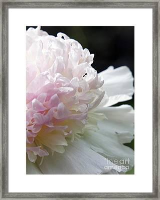 Blushing Peony  Framed Print by Lilliana Mendez