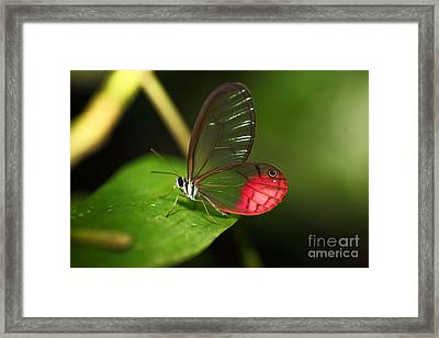 Blushing Phantom Butterfly Framed Print