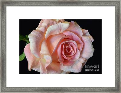 Framed Print featuring the photograph Blushing Pink Rose by Jeannie Rhode