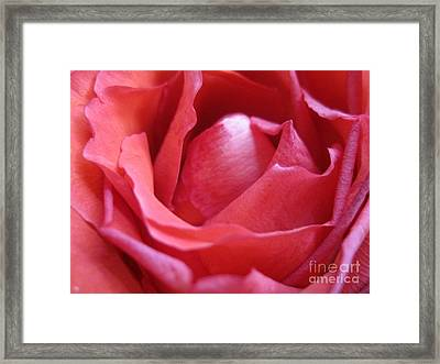 Blushing Pink Rose Framed Print