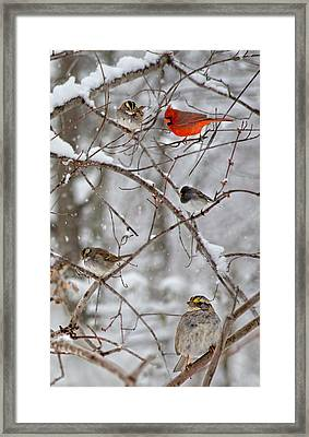 Blushing Red Cardinal In The Snow Framed Print by Betsy Knapp