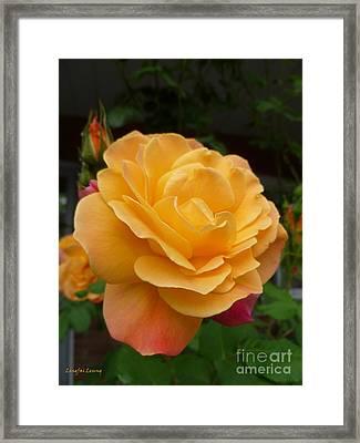 Framed Print featuring the photograph Blushing Rosalina by Lingfai Leung